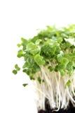 Germogli del broccolo Fotografia Stock Libera da Diritti
