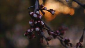 Germogli del ciliegio ad aprile video d archivio
