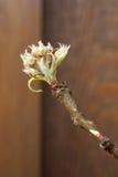Germogli del fiore della pera fotografie stock libere da diritti