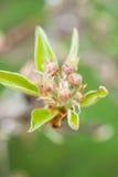 Germogli del fiore della pera immagini stock libere da diritti