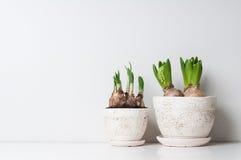 Germogli del narciso e del giacinto Fotografie Stock Libere da Diritti