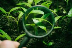 Germogli del pepe in lente Fotografie Stock