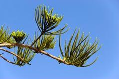 Germogli del pino Fotografie Stock Libere da Diritti