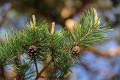 Germogli del pino Fotografie Stock