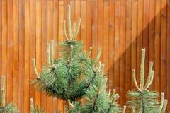 Germogli del pino Immagine Stock Libera da Diritti