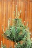 Germogli del pino Fotografia Stock