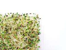 Germogli del ravanello & dell'erba medica Fotografia Stock