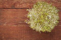 Germogli del ravanello e dell'alfalfa Fotografia Stock