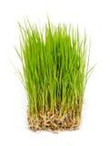 Germogli del riso. Fotografie Stock Libere da Diritti