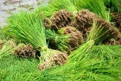 Germogli del riso in azienda agricola della Tailandia Fotografia Stock Libera da Diritti