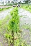 Germogli del riso del raccolto dell'agricoltore Fotografie Stock