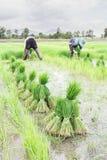 Germogli del riso del raccolto dell'agricoltore Fotografia Stock Libera da Diritti