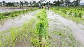 Germogli del riso del raccolto dell'agricoltore Immagine Stock Libera da Diritti
