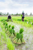 Germogli del riso del raccolto dell'agricoltore Immagine Stock