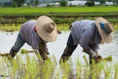 Germogli del riso della pianta dell'agricoltore Immagine Stock