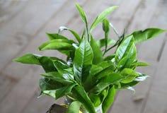 Germogli del tè Immagine Stock Libera da Diritti