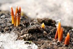 Germogli del tulipano Fotografie Stock