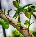 Germogli dell'albero della guaiava Fotografia Stock Libera da Diritti