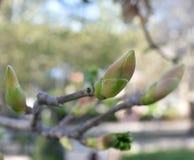 Germogli dell'albero della primavera fotografia stock libera da diritti