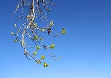 Germogli dell'albero della sorgente Fotografia Stock