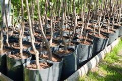 Germogli dell'albero in POT fotografie stock