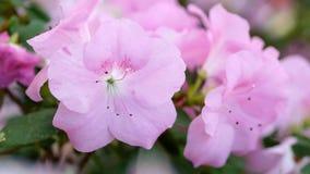 Germogli dell'azalea rosa molle stock footage