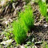 Germogli dell'erba Fotografie Stock