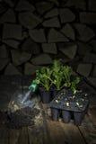 Germogli dell'insalata Fotografia Stock Libera da Diritti