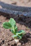Germogli dell'irrigazione a goccia Immagine Stock