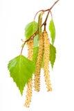 Germogli della betulla della sorgente Fotografia Stock