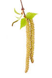 Germogli della betulla della sorgente isolati su bianco Fotografie Stock Libere da Diritti