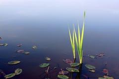 Germogli della canna in acqua fotografia stock