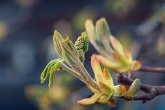 Germogli della castagna e ramo di albero fotografia stock libera da diritti