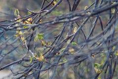 Germogli della castagna e ramo di albero fotografie stock