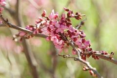 Germogli della ciliegia Fotografia Stock Libera da Diritti