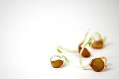 Germogli della lenticchia Immagini Stock