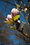 Germogli della magnolia Immagine Stock