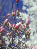 Germogli della magnolia. Immagine Stock