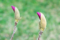 Germogli della magnolia che sbocciano in primavera immagini stock