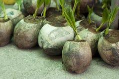Germogli della noce di cocco Immagini Stock Libere da Diritti