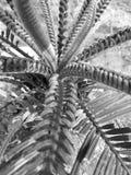 Germogli della palma da sago fotografia stock libera da diritti
