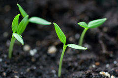 Germogli della pianta Immagini Stock Libere da Diritti