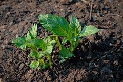 Germogli della plantula della patata Fotografia Stock