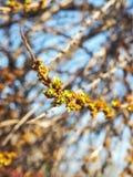 Germogli della primavera sul ramo di albero Nuovo concetto di vita, di sviluppo e di speranza Albero dell'olivello spinoso Immagine Stock