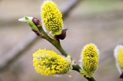 Germogli della primavera sull'albero Fotografia Stock Libera da Diritti