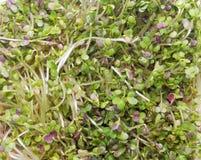 Germogli della senape Fotografia Stock