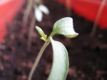 Germogli delle piante di pomodori Immagini Stock