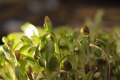 Germogli di alfalfa Immagine Stock