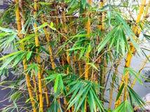 Germogli di bambù fotografia stock libera da diritti