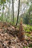 Germogli di bambù selvaggi Fotografia Stock